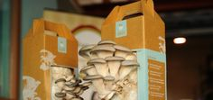 Home-grown mushroom kits that use recycled coffee grounds as the soil from Back to the Roots Grow Your Own Mushrooms, Mushroom Grow Kit, Growing Mushrooms, Mushroom Spores, Uses For Coffee Grounds, Organic Protein, Grow Your Own Food, Oysters, Roots