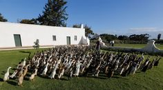 South Africa's Vergenoegd vineyard in Stellenbosch keeps a flock of over 1,000 Indian Runner ducks to help combat tiny white dune snails that would otherwise destroy the budding vines. The ducks' upright and slender posture allow them to navigate the rows of … Continue reading →