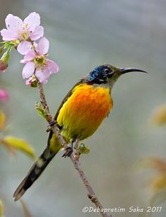 Green-tailed sunbirds are found in Bangladesh, Bhutan, China, India, Laos, Myanmar, Nepal, Thailand, and Vietnam, preferring temperate forests and subtropical or tropical moist montane forests.