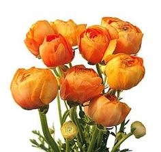 Orange ranunculus- Mayesh Wholesale Florists - Search our Flower Library Neon Flowers, Home Flowers, Purple Tulips, Summer Flowers, Tulip Colors, Wholesale Florist, Flower Names, Dahlia Flower, Gerbera
