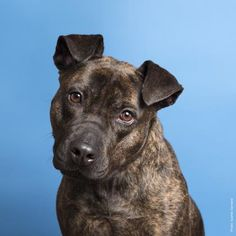 Marci - URGENT - located at Town of Hempstead Animal Shelter in Wantagh,NY- Adult Female Boxer/Cattle Dog Mix - HAS BEEN AT THE SHELTER SINCE 2014.  ADOPT FOSTER OR SHARE THIS AMAZING DOG! - Marci has been completely overlooked the entire time she has been here. She now has made it to the dreaded 10 longest residents list, as she has been waiting since August 2014 for a home of her own. Poor Marci has seen dogs come and go, and get adopted into their forever homes, while she continues to…