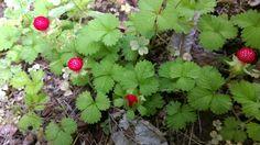 "Potentilla hebiichigo. Japanese nane means ""sneak strawberry."" No poison, but no taste. ヘビイチゴ。毒はないけど味もない。"