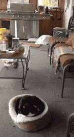 Beagle Scares Cat. [video]