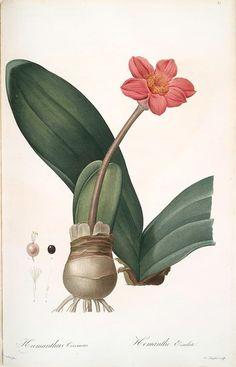Haemanthus coccineus ( Blood Lily, Paint Brush, April Fool ). Taken from 'Les Liliacées' ( 1805 - 1816 ) by Pierre Joseph Redouté (1759-1840