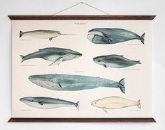 Whales - vintage educational chart illustration by ARMINHO, Paper Ephemera