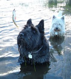 Scottish Terrier photos | Scottish Terrier and Dog News | Page 31