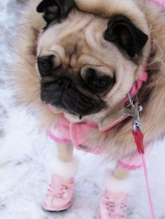 Cute pug dressed warm. This is what my pug babies will look like if ever get my dream of living in Alaska.