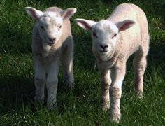Curious lambs from the Netherlands wish you a wonderful Spring. by zwedendejong