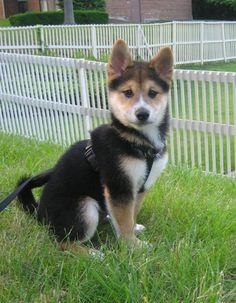 This one is on harness just like our dog Rocky. Shibas are notorious escape artists because they like to play.