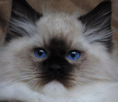 Blue-Gem Ragdoll photo Gallery - Photos of Ragdoll Cats and kittens and like OMG! get some yourself some pawtastic adorable cat shirts, cat socks, and other cat apparel by tapping the pin! Cute Cats And Kittens, Cool Cats, Kittens Cutest, White Kittens, Black Cats, Munchkin Kitten, Ragdoll Cats, Bengal Cats, Pretty Cats