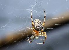Garden spiders are one of the more beneficial creatures to have in the yard or garden, although in the eyes of many they can be rather frightening. Spider Species, Web Bug, Crab Spider, Organic Insecticide, Garden Spider, Jumping Spider, Survival Instinct, Insect Pest, Pets