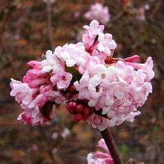 Viburnum bodnantense bloeit de hele winter door op kale takken met geurende bloemen