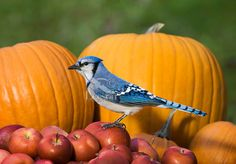 animals and pumpkins | ... backyard with pumpkin and MacIntosh apples. Nova Scotia. Canada