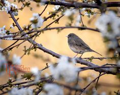 """""""Spring Sparrow"""" 8x10 photograph by Tammie Bowden"""