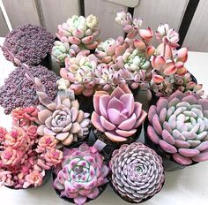 Here you can see some of the worlds most stunning purple succulents around. Explore all the different types of purple succulents out there! Pink Succulent, Purple Succulents, Cacti And Succulents, Planting Succulents, Planting Flowers, Succulent Gardening, Succulent Terrarium, Cactus Plante, Plantas Bonsai