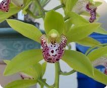 Cymbidium Cliff Hutchings New Horizon - Orchideen der Schwerter Orchideenzucht