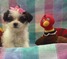 Maltese / Chihuahua Mixes @ hendersonvillepetshop.com