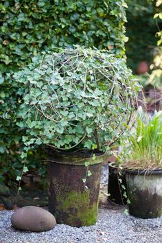 ivy topiary in mossy pot...