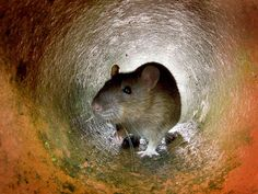 Only a sewer rat could squeeze through the opening left in a sewer pipe under a London suburb  where fat and baby wipes had congealed.