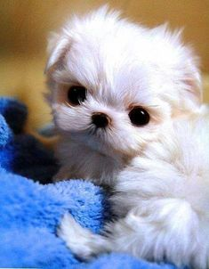 5 Longest Living Dog Breed... have you ever seen something so cute??