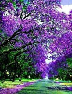 """Largo camino de árboles con sedosas hojas de color púrpura sobre la calle """"Jacracanda Street"""" en Sydney, Australia. Un verdadera sueño caminar por allí :) - http://jardineriaplantasyflores.com/fotos/jacracanda-street/"""