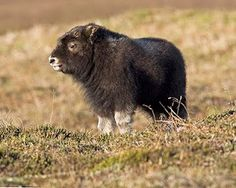 musk ox calf... It's so fluffy i'm gonna die!