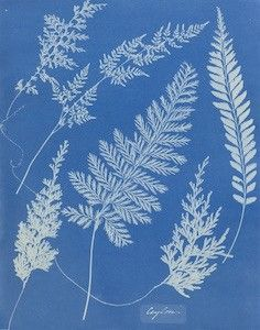 Object Lesson: Ceylon cyanotype by Anna Atkins | New Orleans Museum of Art