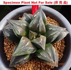 Image from http://sales.maughanii.com/images/zz_haworthia_others/s_HALLOWEEN.jpg.