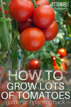 Tomatoes are easy to grow. But knowing the best way to plant tomatoes will give them a very solid start. Try this method for success in your vegetable garden.