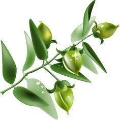Learn about the healing properties of the jojoba plant, includes a history of the use of the jojoba plant, medicinal uses for jojoba and information about the rich oil that can be obtained from this plant. Originally published as
