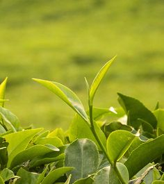World's First Tea Futures Contracts May Be Started in Kenya