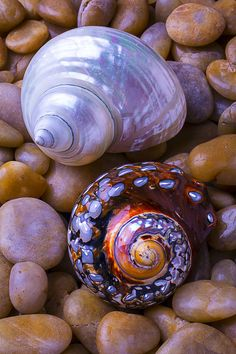 Sea Snail Shells by Garry Gay Sea Snail, Snail Shell, Seashell Painting, Orange Aesthetic, Seashell Crafts, Shell Art, Ammonite, Sea Creatures, Fossils