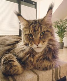 Humon just keep watching your TV show and leave me alone ------------------------- Follow us: -@mainecoonloves ------------------------- Douple tap and tag your #MaineCoon loving friends below! Be sure to hit follow for awesome pics! From: @ubertomainecoon Thank you so much !