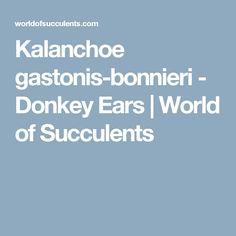 Kalanchoe gastonis-bonnieri - Donkey Ears | World of Succulents