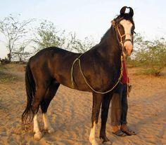kathiawari horse - Google Search