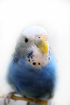 Blue Budgie Photograph