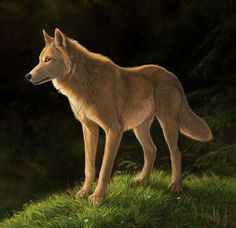A golden wolf Anime Wolf, Fantasy Creatures, Mythical Creatures, Cartoon Wolf, Wolf Spirit Animal, Fantasy Wolf, Wolf Pictures, Beautiful Wolves, Anime Animals