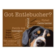 entlebucher mountain dog- this is my ranger pups