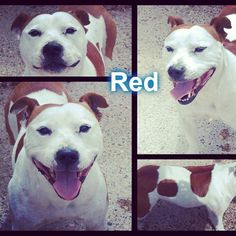 Red is also urgently looking for a rescue space :( #safeandsound #rescue #rescuedog #dontshopadopt #dog #newlife #happy #love #givesomuch #giveadogachance #somanyneedanewhome #adoption #pet #beautiful #bestfriend #mansbestfriend www.safe-and-sound.org