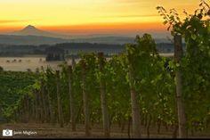 Willamette Valley vineyards.