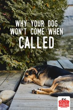 If your dog doesn't listen when you call, here's the reason your dog or puppy isn't coming when you call his name. Check out these dog training tips on recall for dogs to help you have a dog that obeys and comes. #dogs #dogtraining #recall