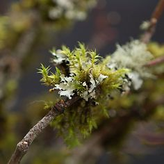 Moss & Lichen Branches