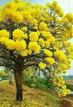Mimosa tree - love these trees, their scent is beautiful! Mimosa tree - love these trees, their scen Flowering Trees, Trees And Shrubs, Trees To Plant, Bonsai Trees, Unique Trees, Colorful Trees, Nature Tree, Tree Forest, Tree Tree