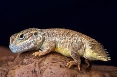 Shield tailed agama Reptile Store, Chameleons, Animal Illustrations, Weird Creatures, Reptiles And Amphibians, Circle Of Life, Bearded Dragon, Animals Of The World, Snails