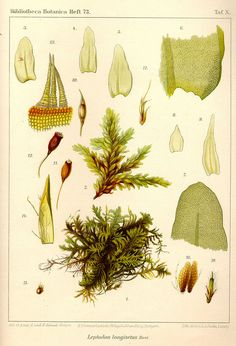 Leptodon longisetus on Flickr.  Via Flickr: Bryologica atlantica. The mosses of the Atlantic islands (1910) This book is part of www.biolib.de , the virtual biological library.  © Kurt Stueber , 2007.