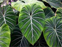 Tropical Rainforest Leaves Tropical forest have broad Amazon Rainforest Plants, Rainforest Flowers, Jungle Flowers, Big Leaves, Tree Leaves, Tropical Garden, Tropical Plants, Tropical Forest, Tropical Leaves