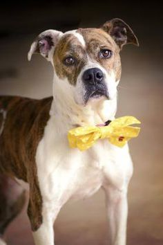 ADOPTED> NAME: Prada  ANIMAL ID: 34927885  BREED: Boxer mix  SEX: female(spayed)  EST. AGE: 2 yr  Est Weight: 49 lbs  Health: Heartworm neg  Temperament: dog friendly people friendly  ADDITIONAL INFO: RESCUE PULL FEE: $35  Intake date: 3/23  Available: Now