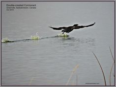 Double-crested Cormorant taking off near Greenville, SK, Oct 2015