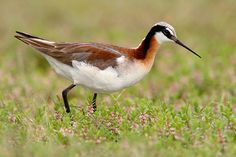 Wilson's Phalarope, Phalaropus tricolor, is a small wader. This bird, the largest of the phalaropes, breeds in the prairies of North America in western Canada and the western United States. It is migratory, wintering around the central Andes in South America.