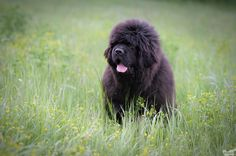 Neufundländer am Doolittlehof Newfoundland, My Love, Dogs, Animals, Dog Biscuits, Rescue Dogs, Vet Office, Small Dogs, Animales